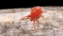 « Araignées rouges » ou tétranyques