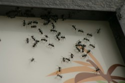 invasion de fourmis
